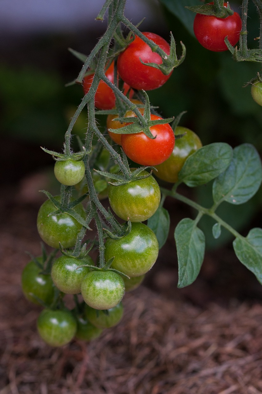 "Tomaten - Image by <a href=""https://pixabay.com/users/Pezibear-526143/?utm_source=link-attribution&amp;utm_medium=referral&amp;utm_campaign=image&amp;utm_content=1425779"">Pezibear</a> from <a href=""https://pixabay.com/?utm_source=link-attribution&amp;utm_medium=referral&amp;utm_campaign=image&amp;utm_content=1425779"">Pixabay</a>"